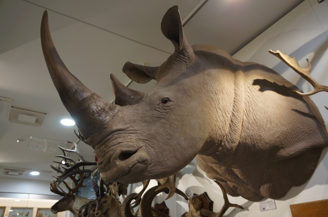 White rhino at VU museum of Zoology. Picture was taken by Alba Ávila Grimaldos